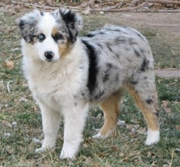 Miniature Australian Shepard - our future puppy!  One blue eye & one brown... perfect to match the both of us. <3