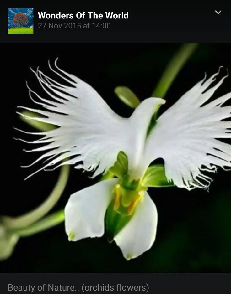 This orchid from Panama is called Holy Spirit flower and only blooms during Pentecost. Also known as dove orchid.Frc