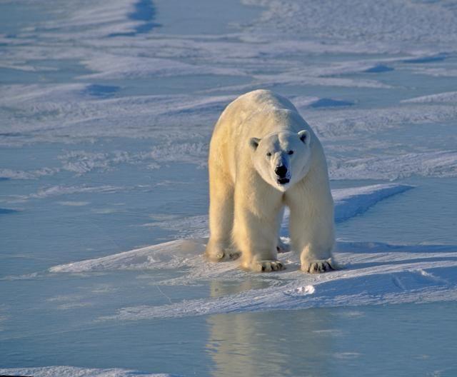 CHURCHILL (CANADA) – Questa cittadina della provincia di Manitoba, lungo la baia di Hudson, è la capitale mondiale degli orsi polari: si stima che siano 935 gli esemplari che popolano l'area, ma negli ultimi dieci anni il loro habitat e il loro benessere vengono messi a rischio dai parecchi tour operator che organizzano spedizioni di bear watching (ph: Getty Images).140468976Polar bear (see others in my lightbox or portfolio)Getty Images/iStockphoto