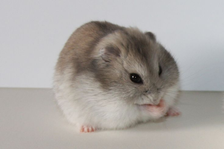 information about winter white dwarf hamster care and