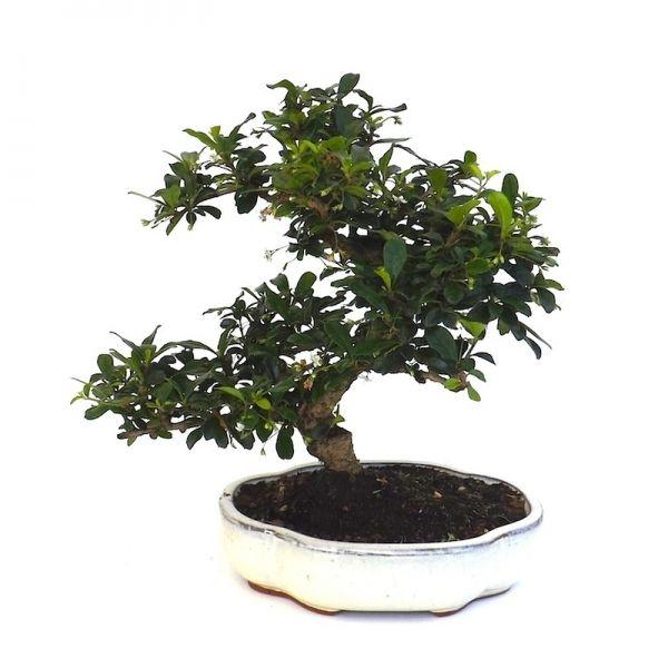 vente de bonsai carmona microphylla 32 cm car140401 sankaly bonsa votre vrai professionnel du. Black Bedroom Furniture Sets. Home Design Ideas