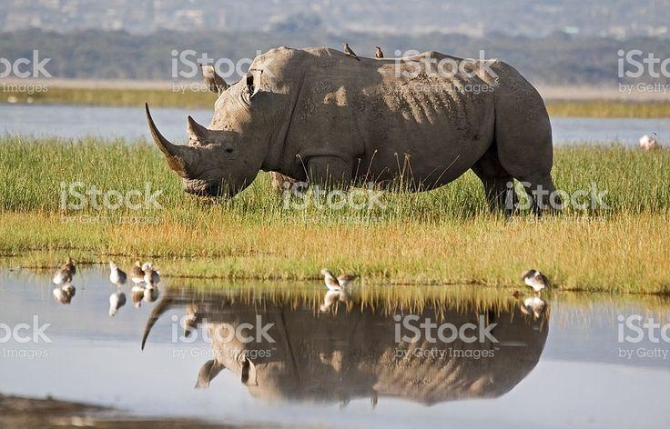 Rhino Reflection royalty-free stock photo