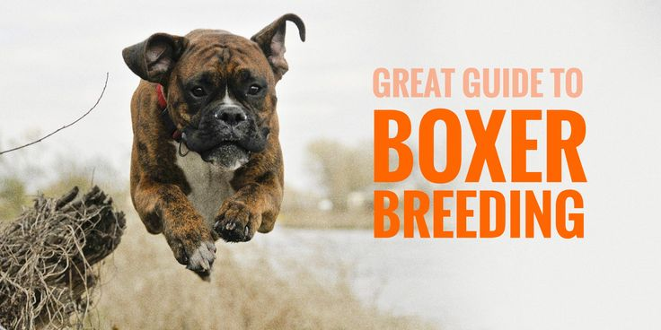 Breeding Boxers — Introduction To Better Boxer Breeding  When thinking about breeding boxers, health should be your first concern since a few genetic diseases are known to affect this breed in particular. Having no DNA testing available means effort and screening have to be performed by reputable Boxer breeders in order to clean up the future bloodlines. Boxer breeding is like breeding any other dog breed: complicated, costly, but incredibly fulfilling.