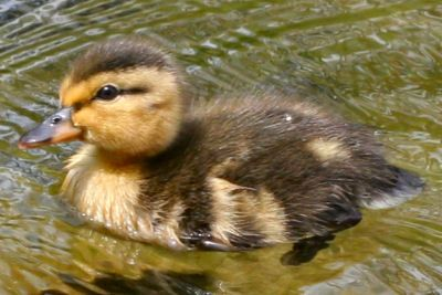 And we have a mallard duckling named DuckDuck