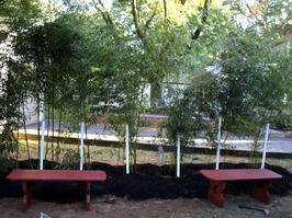 How to use living bamboo as a natural privacy fence, includes how to control the rhizome from multiplying in unwanted areas.