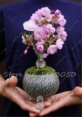 10 Pcs Mini Bonsai Tree Japanese Sakura Seeds, Bonsai Flower Cherry Blossoms Home Garden Decoration