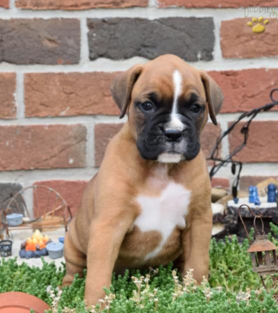 Kate Boxer Puppy for Sale in Baltic, OH Buckeye