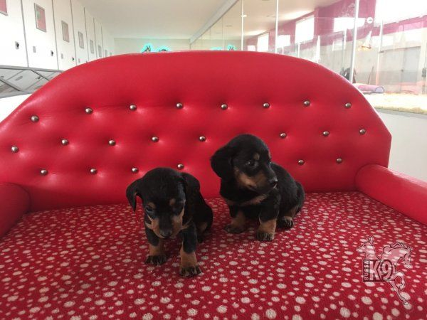 Satılık Dachshund (Sosis) Yavruları | Club K9 Köpek Çiftliği ve Binicilik Merkezi