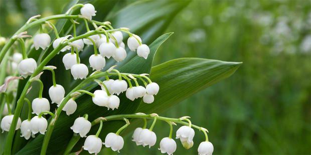 Maiglöckchen – natürliche Hilfe für das Herz