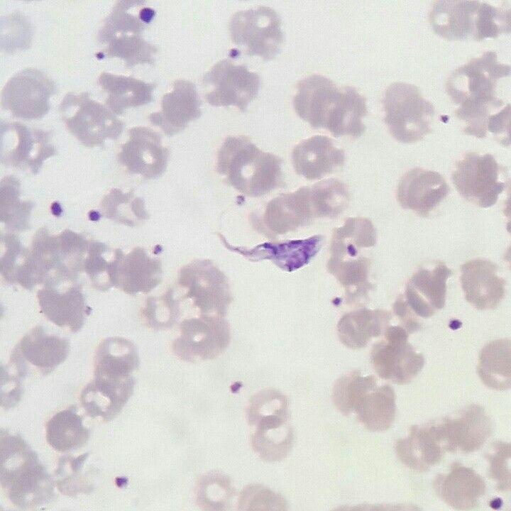 Epimastigote de Leishmania spp.