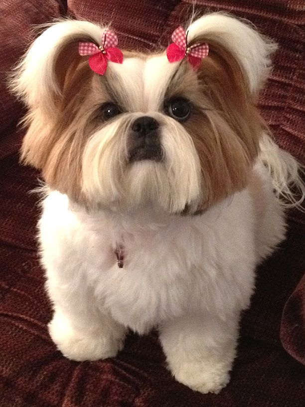 """""""Chloe"""" is modeling Butterfly Dog Bows! Chloe is shown with a puppy cut hair style on her body which is about an inch long. Her legs look like they are the same length as her body cut. Head is left full with a full topknot hair to be worn in pigtails or a single topknot dog bow."""