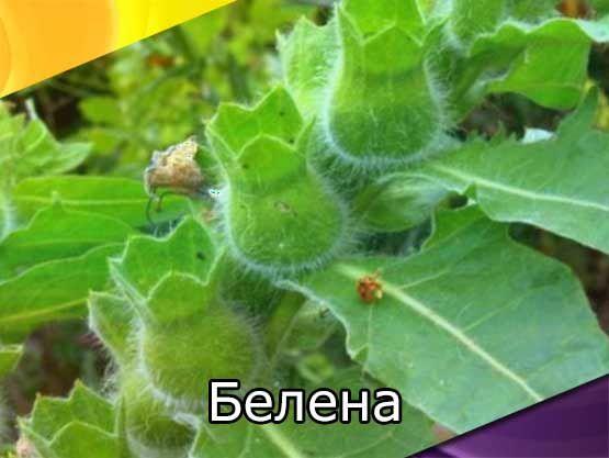 Белена черная (белая, богемская). Ядовитые и лекарственные растения (фото, биологические и лечебные свойства)
