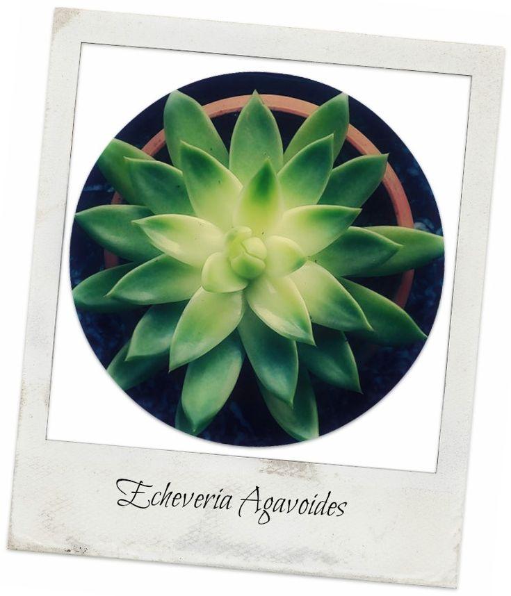 Αυτο το πανεμορφο παχυφυτο της οικογενειας Crassulaceae με καταγωγη απο το Μεξικο,ειναι ενα φυτο χωρις ποδισκο,με ροζετα σε σχημα αστεριου.Ειναι συχνα μοναχικο,με φυλλα σε εντονο πρασινο χρωμα που ...
