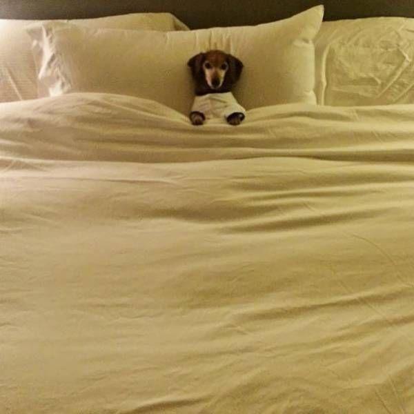 寝る犬 ベッドで眠る犬のかわいい姿 おやすみ犬 ラビトーク 犬のおもしろ写真 動物おもしろ画像 おかしな動物