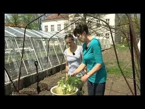 Jak sázet rajčata - YouTube