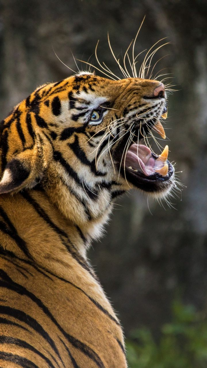 720x1280 Wallpaper Angry Tiger Muzzle Predator Animals
