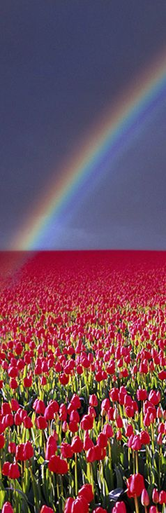 Spring Rainbow Over Tulip Field By Edmund Nagele #rainbow #holland #tulips