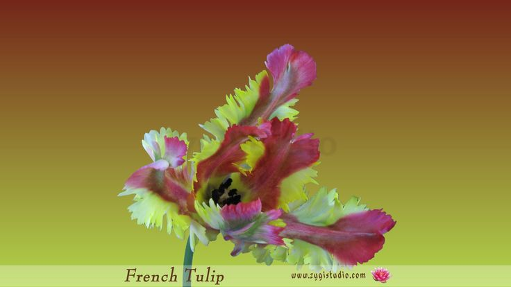 Time-lapse of Opening French Tulip.