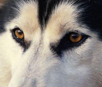 Dogs Bloodshot Eyes Symptoms
