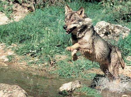 El lobo ibérico en España