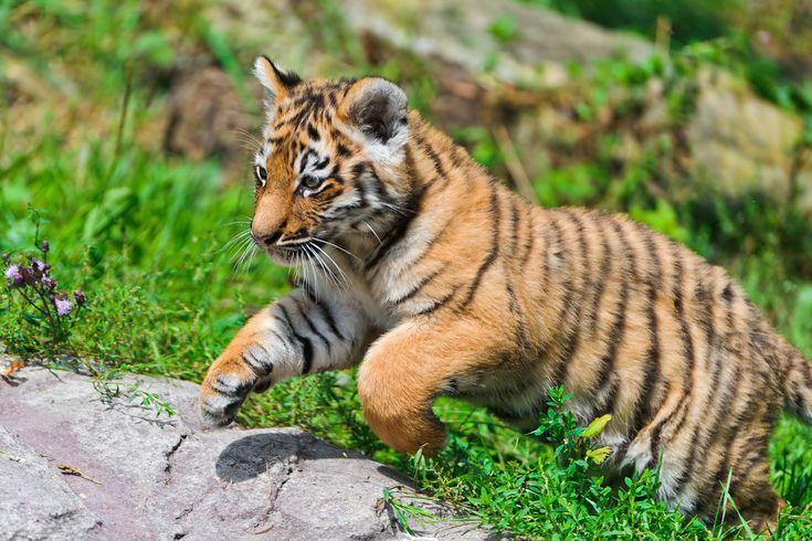 tigers | Tiger - Tigers Photo (30651668) - Fanpop fanclubs