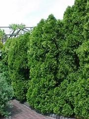 as an accent or used as a good hedge/privacy screen: Thuja occidentalis 'Smaragd' - 'Emerald Green'
