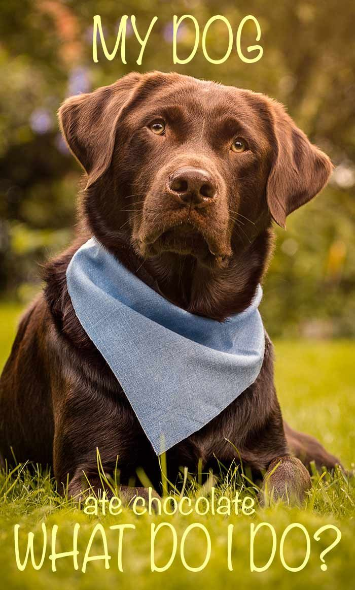 Help my dog ate chocolate - what should I do now? Find out on The Labrador Site via @KaufmannsPuppy