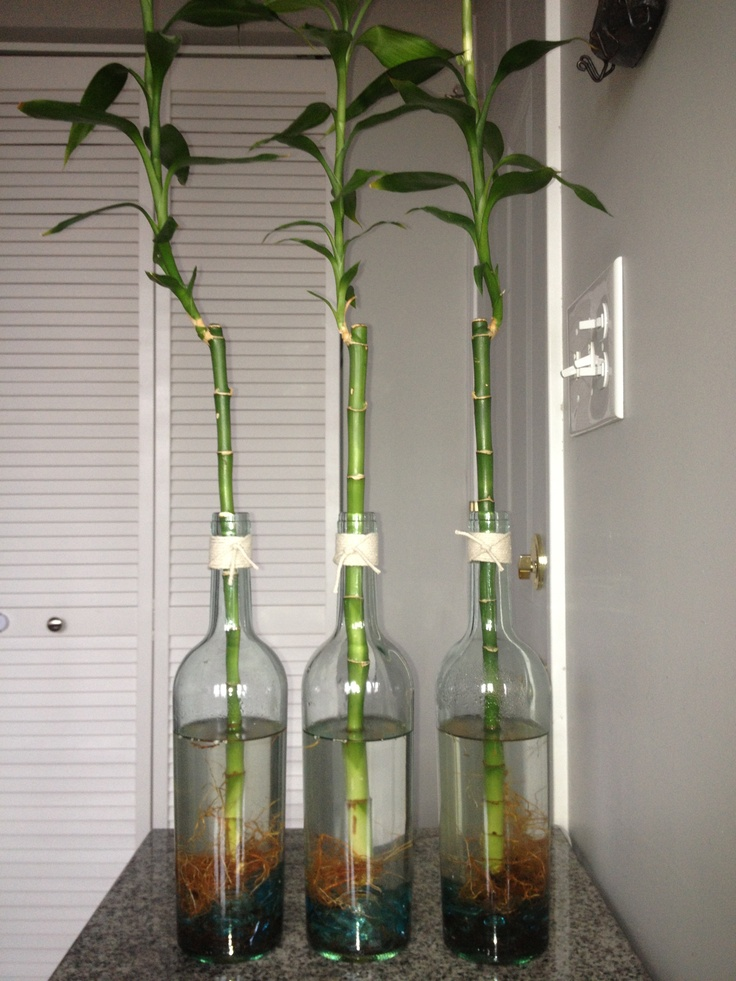 Bamboo plants in wine bottles | Wine bottles | Bamboo ...