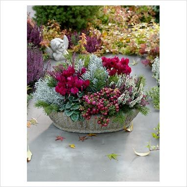 Autumn container - Cyclamen, Calluna, Pernettya, Calocephalus, Helichrysum, Abies