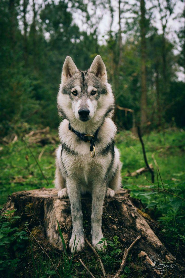 Vlčiak (czechoslovakian wolfdog)