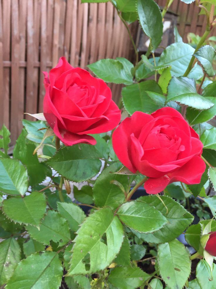 Utrolig flot rød rose