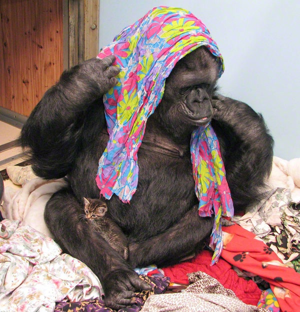 I love Koko the gorilla! And apparently she has two kittens who look just like my kittens!