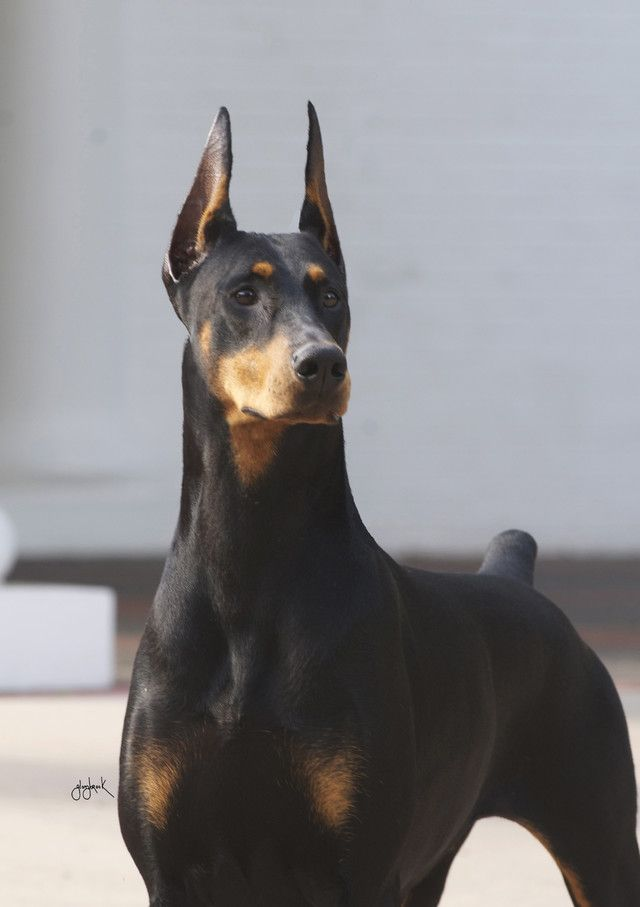 Doberman dog obedience club