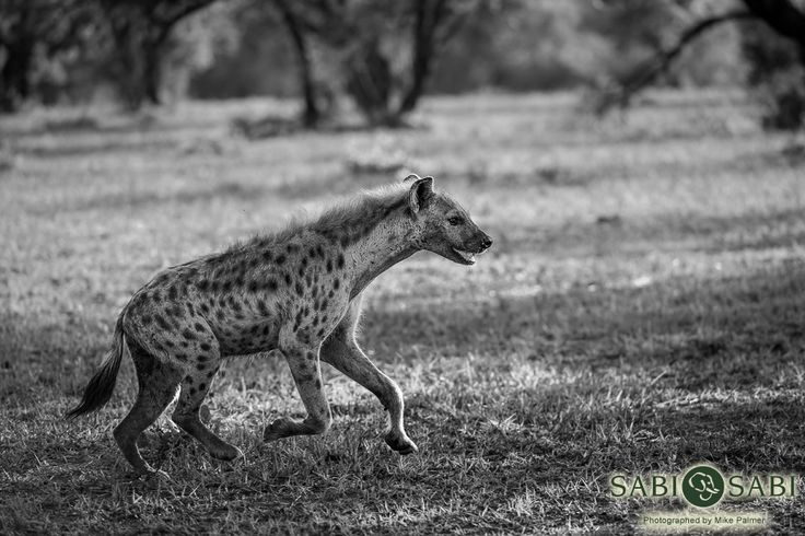 This massive hyena came sprinting past our vehicle with purpose.