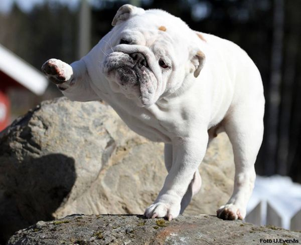 White English Bulldog high five. | Your Daily Smoosh Face ...
