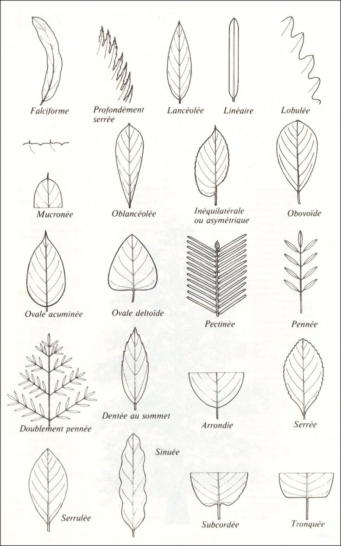 Je mets ces dessins à disposition, car bien souvent vous retrouverez ces termes dans les clés de détermination, ainsi que sur les fiches botaniques ; cela vous aidera surement à déterminer les arbr…