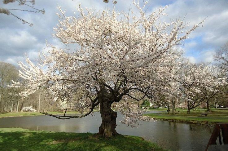 Cerejeira Japonesa Ornamental de Flores Brancas e Dobradas - Jardim Exótico - O maior portal de mudas do Brasil.