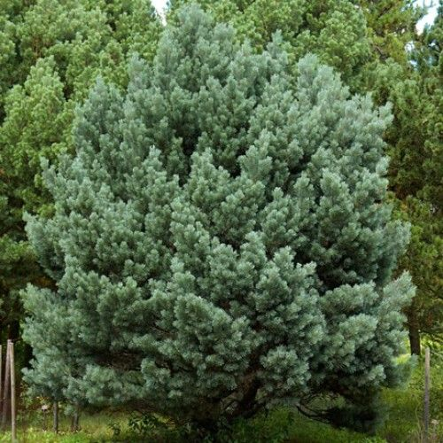 Сосна обыкновенная ватерери pinus sylvestris watereri