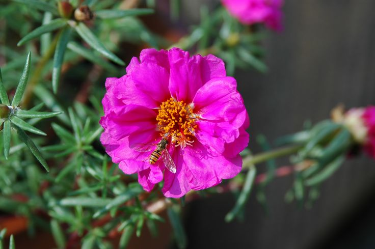 A fly on my portulaca