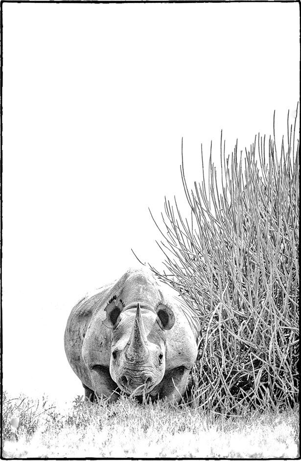 BW print of a desert adapted black rhino next to a euphorbia bush