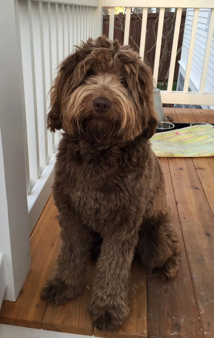 1-Midwest Labradoodle Duncan-Medium Chocolate Daddy -4446