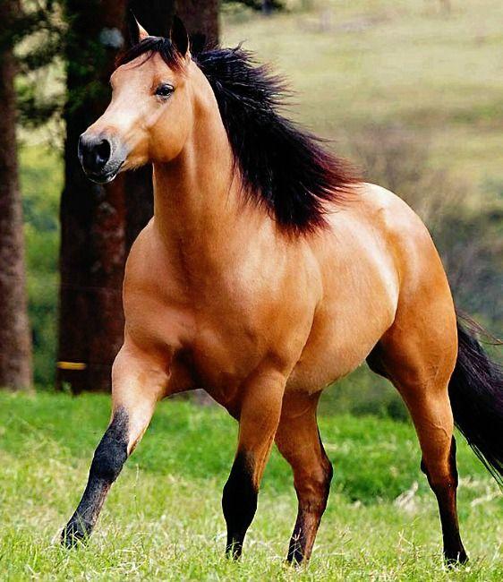 Brazilian quarter horse stallion Sugar Cream. photo: Robson Tegani.                                                                                                                                                                                 Mais