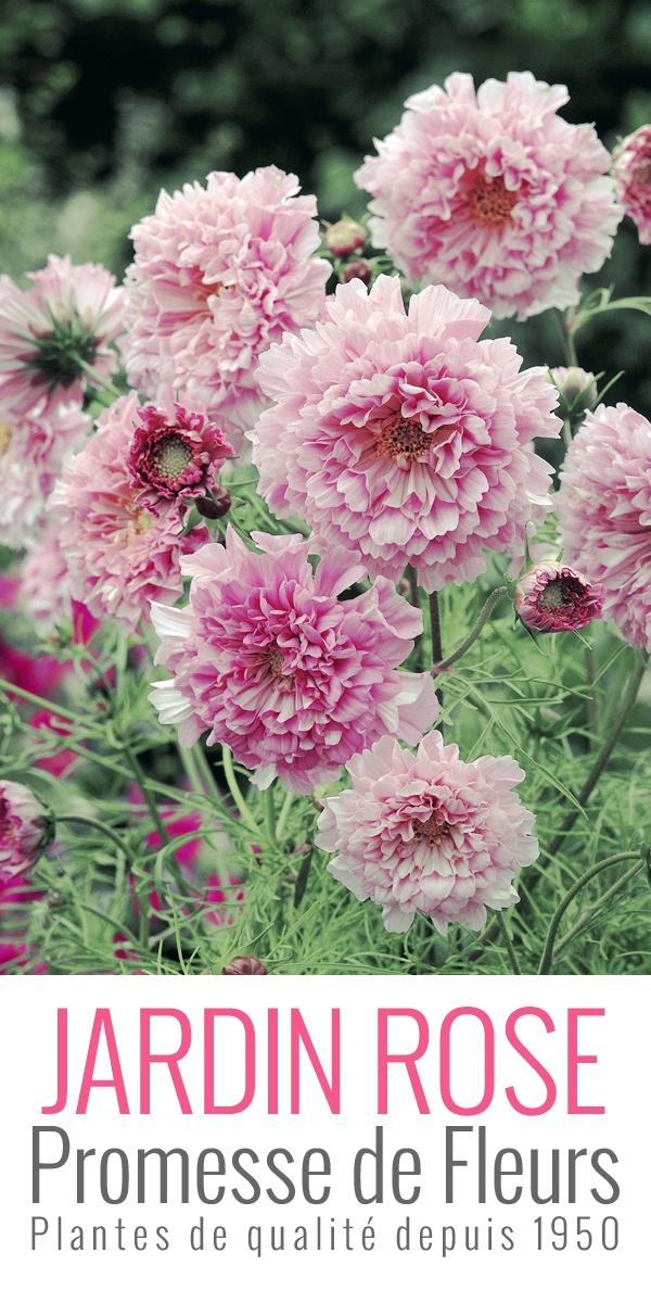 ❀ Cosmos Rose Bonbon ❀ Le Cosmos est très apprécié par les abeilles. Dans le langage des fleurs, le mot cosmos signifie innocence.  #cosmos #rose #bonbon #flower  Retrouvez cette annuelle ici: http://www.promessedefleurs.com/graines/graines-de-fleurs/les-champetres/cosmos-rose-bonbon-p-2196.html