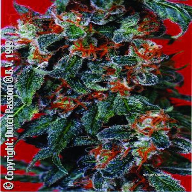 Orange Bud - http://www.rostliny-semena.cz/cz/seminka-marihuany-konopi/Semena-Dutch-Passion-Orange-Bud-10ks--standard--/