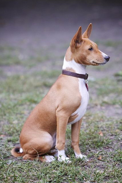 Tan and white Basenji by Matthew Clemente, via Flickr