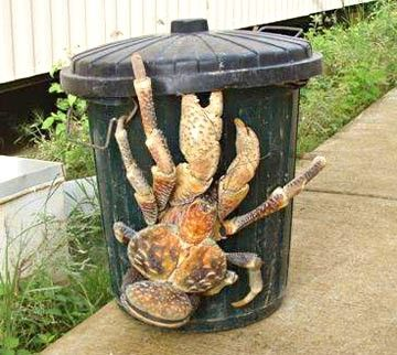 Coconut Crabs on the island where Amelia Earhart is believed to have crashed would have carried off any remains.