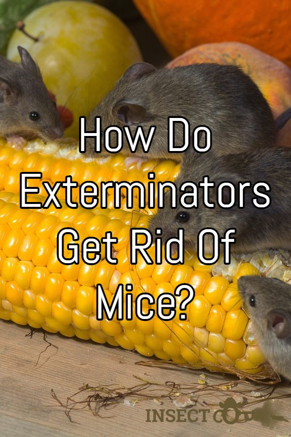How Do Exterminators Get Rid Of Mice Getting Rid Of Mice Rat Control Pest Control