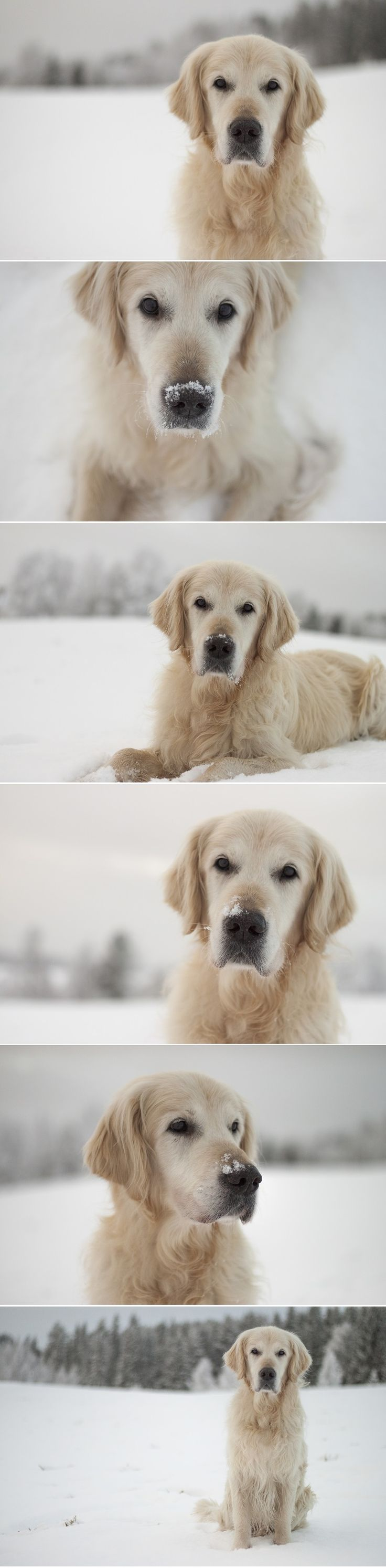 Tillvaron.se | Stina Golden retriever
