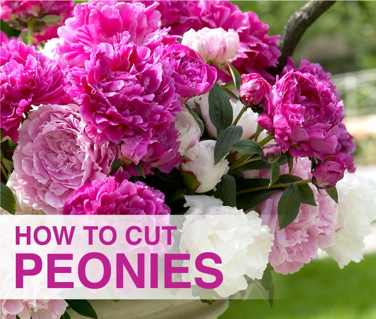 video peonies are easy long lived perennials with lush early summer flowers
