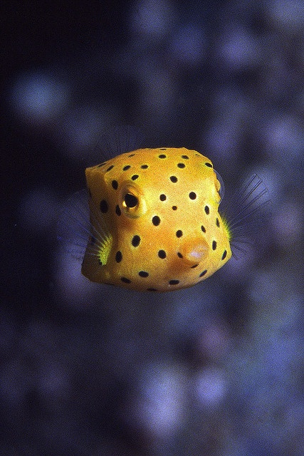 Boxfish. This is a cute little fellow. Playtikitoss.com